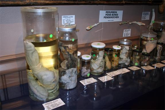 Icelandic-Phallological-Museum-4