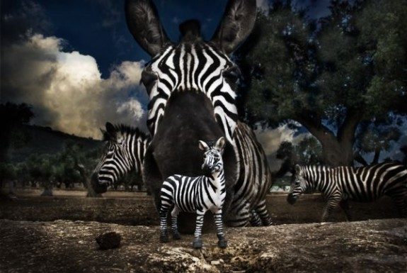 T_F_zebras_600x600